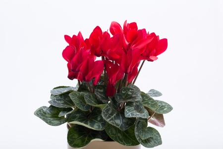 Persian cyclamen flower isolated on white background Foto de archivo