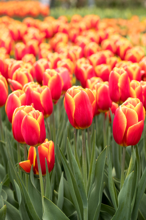 orange tulips flowers blooming in a garden