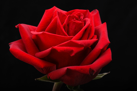 a single red rose flower on black background  Stock Photo
