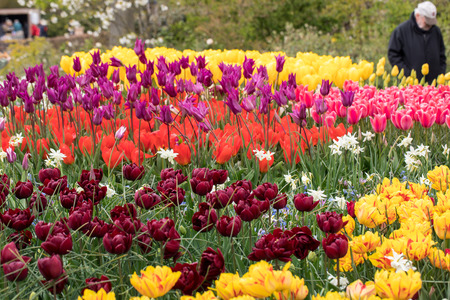 colorful tulips and daffodils  blooming in a garden Stock Photo