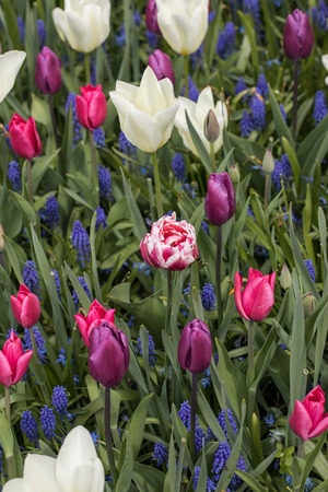 colorful tulips and  blue hyacinth blooming in a garden Stock Photo