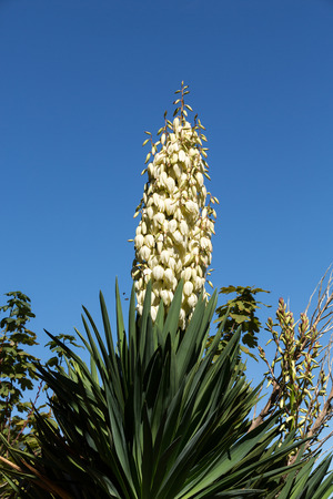 Yucca gloriosa, or Spanish dagger, displaying panicles of bell shaped flowers Stock Photo