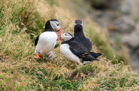 The Atlantic puffin, also known as the common puffin