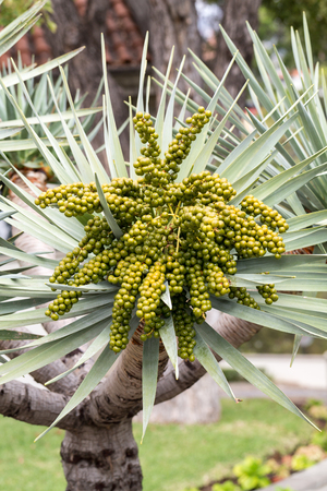 Seed head of Bangalow palm, Archontophoenix cunninghamiana