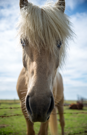 Close up of Icelandic horse in a pasture in Iceland
