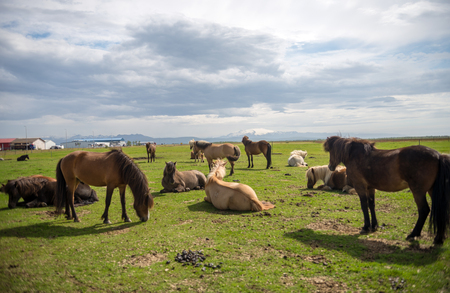 A herd of Icelandic horses in a pasture in Iceland