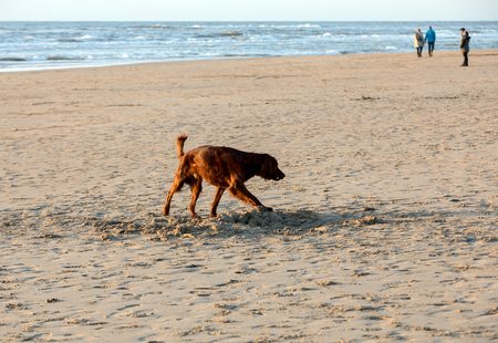 Katwijk, Netherlands: Red setter dog having fun on a beach at Katwijk aan Zee, Netherlands Banco de Imagens