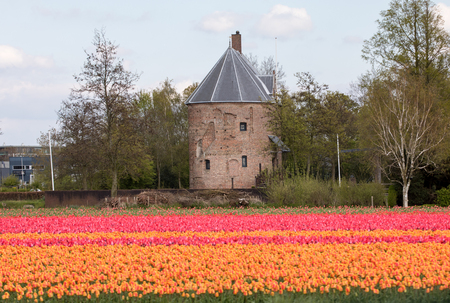Colorful Tulips fields of the Bollenstreek, South Holland, Netherlands