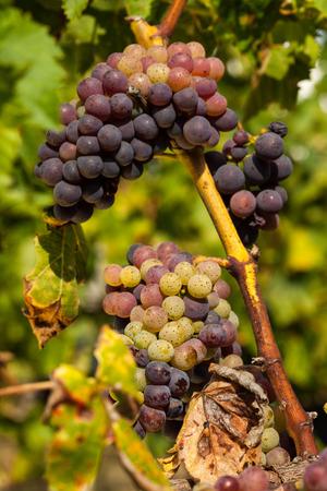 ripe red grape clusters on the vine Zdjęcie Seryjne