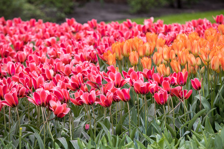 orange and red tulips flowers blooming in a garden Stock Photo
