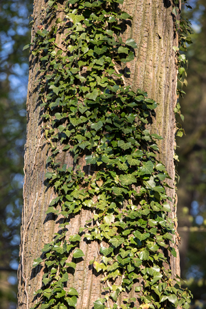 Tree trunk covered with creepers Hedera helix Stock fotó