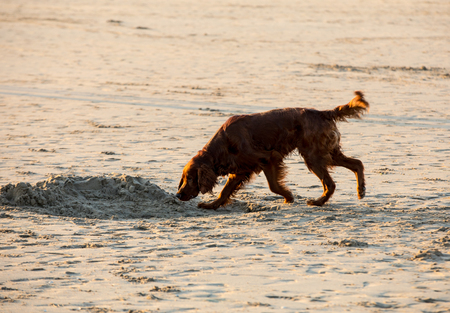 Red setter dog having fun on a beach