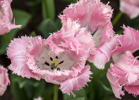 Fringed tulips blooming in a garden. Fringed tulips got their name from the distinct frayed edge on their petals.