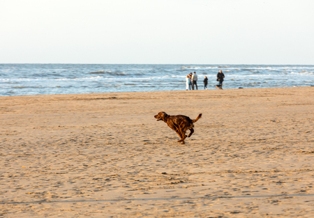 Red setter dog having fun on a beach at Katwijk aan Zee, Netherlands