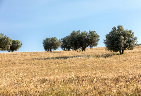 view of olive groves and fields on rolling hills of Abruzzo  Stock Photo