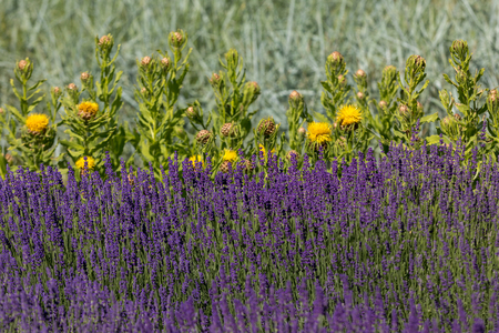 the flourishing lavender and yellow star-thistle flowers