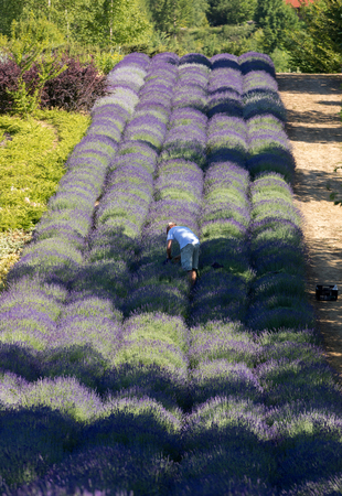 Ostrow, Poland - June 6, 2018: A Garden full of lavender arranged by Barbara and Andrzej Olender in Ostrów 40 km from Krakow. The smell and color of lavender allows visitors to feel like in Provence