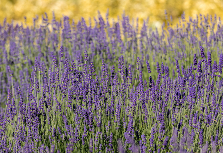 the flourishing lavender and oregano in the background Stock Photo