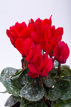 the Persian cyclamen flower isolated on white background Stock Photo