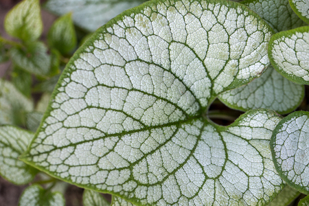 Heartleaf brunnera, Siberian bugloss ( Brunnera macrophylla 'Jack Frost ') in garden