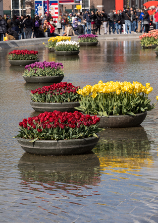 AMSTERDAM, NETHERLANDS - APRIL 22 2017: Colorful tulips flowres in the pond in front of the Rijksmuseum in Amsterdam. Netherlands