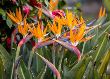 Tropical flower strelitzia or bird of paradise on Madeira Island,  Portugal.