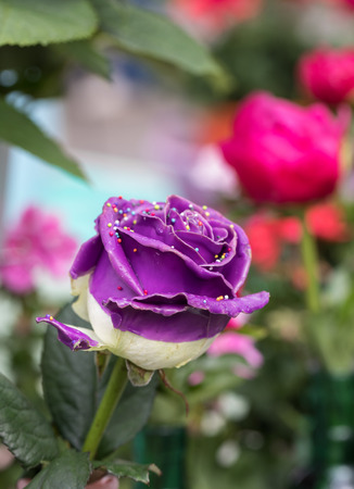 Close up of purple rose flower with colorful decorations
