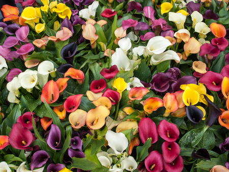 colorful calla zantedeschia flowers are blooming in the spring Stock Photo