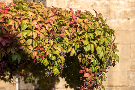 A house will be covered with ivy in Domme. Dordogne, France