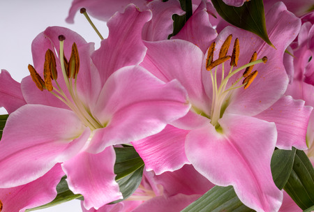 Nahaufnahme von rosa Lilienblumen. Gebräuchliche Namen für Arten in dieser Gattung sind Feenlilie Regenblume Zephyr-Lilie magische Lilie Atamasco-Lilie und Regenlilie.