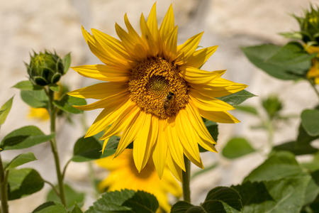 Blooming sunflowers against the background of a limestone wall 免版税图像