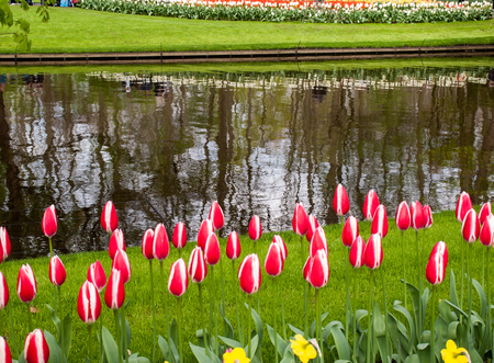 red and white tulips flowers blooming in garden Banco de Imagens