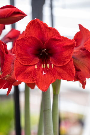 red  amaryllis flower blooming in a natural garden