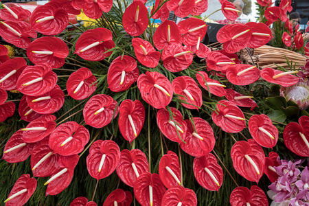 Beauty floristic decoration with a large red anthurium tropical flower Imagens
