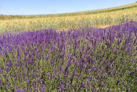 The blooming lavender flowers in Provence, near Sault, France Foto de archivo - 149404495