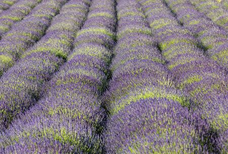 The blooming lavender flowers in Provence, near Sault, France Foto de archivo - 149404596