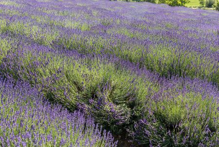 The blooming lavender flowers in Provence, near Sault, France Foto de archivo - 149404614