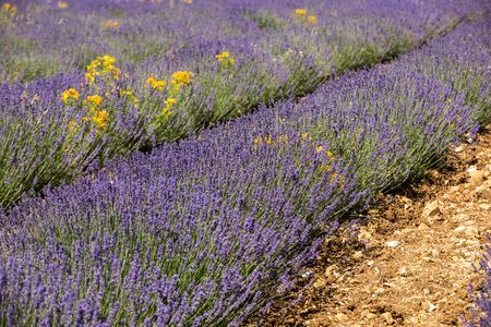 Lavender field in Provence, near Sault, France Foto de archivo - 149404624