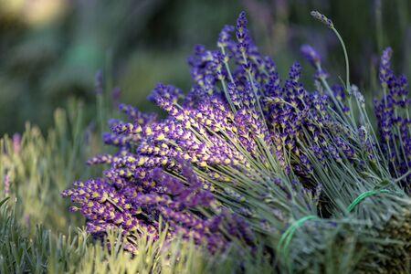 A bouquet of hand-cut scented lavender flowers Foto de archivo