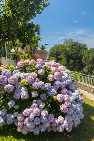 Blossoming hydrangea flowers in garden, Sorrento. Italy 版權商用圖片