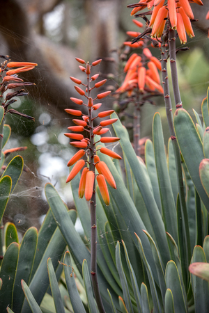 Aloe plant in bloom. Spectacular tall bright orange tubular flower spikes of an Aloe succulent species in  bloom are decorative and long lasting Zdjęcie Seryjne
