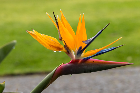 Tropical flower strelitzia or bird of paradise on Madeira Island,  Portugal.