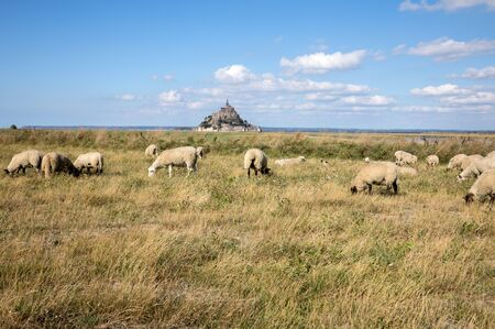 A flock of sheep grazing on the salt meadows close to the Mont Saint-Michel tidal island under a summer blue sky. Le Mont Saint Michel, France Archivio Fotografico