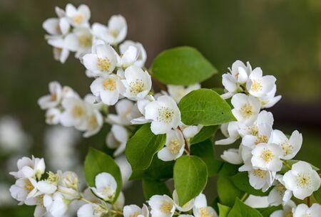 Beautiful blossoming branch of jasmine in garden Imagens