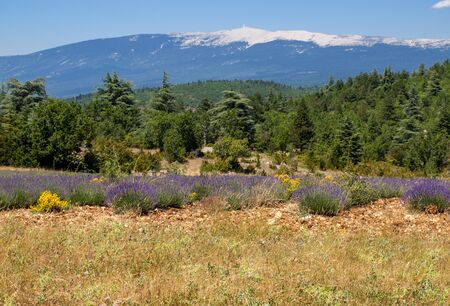 Lavender field near Salt and Mont Ventoux in the background. Provence, France