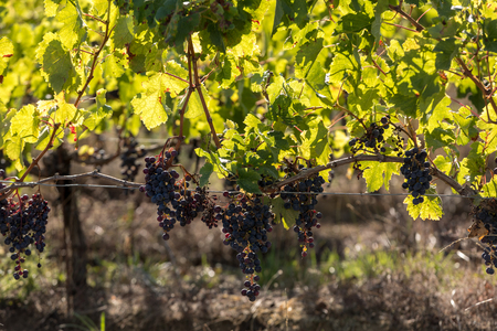Red wine grapes ready to harvest and wine production. Medoc, France