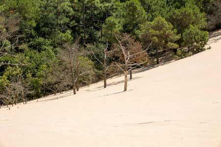 Erosion of trees on the edge of the Dune of Pilat, the tallest sand dune in Europe. La Teste-de-Buch, Arcachon Bay, Aquitaine, France Stock Photo