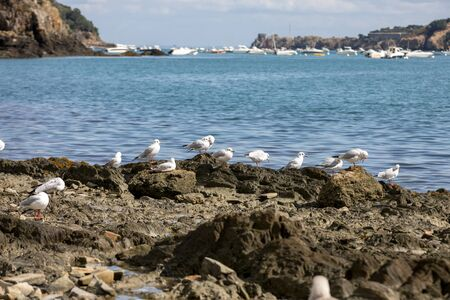 Gulls waiting for the refuse of oysters and fish in Cancale. Brittany, France 写真素材
