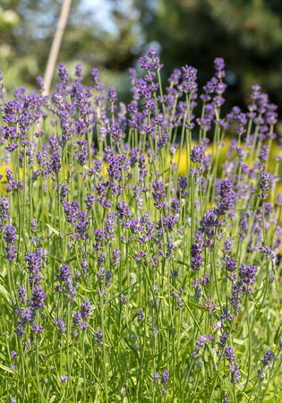 the blooming lavender flowers in Provence, near Sault, France Stock fotó