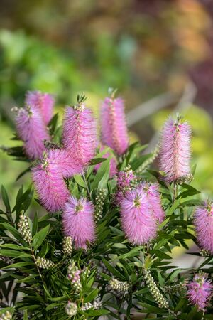 Pink flowers of Echium nervosum A good plant to entice bees and butterflies into the garden.